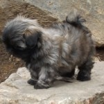 Shih Tzu Puppy Breeder