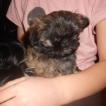 Shih Tzu Dogs for Sale