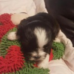 Havanese Shih Tzu Puppies for Sale in California